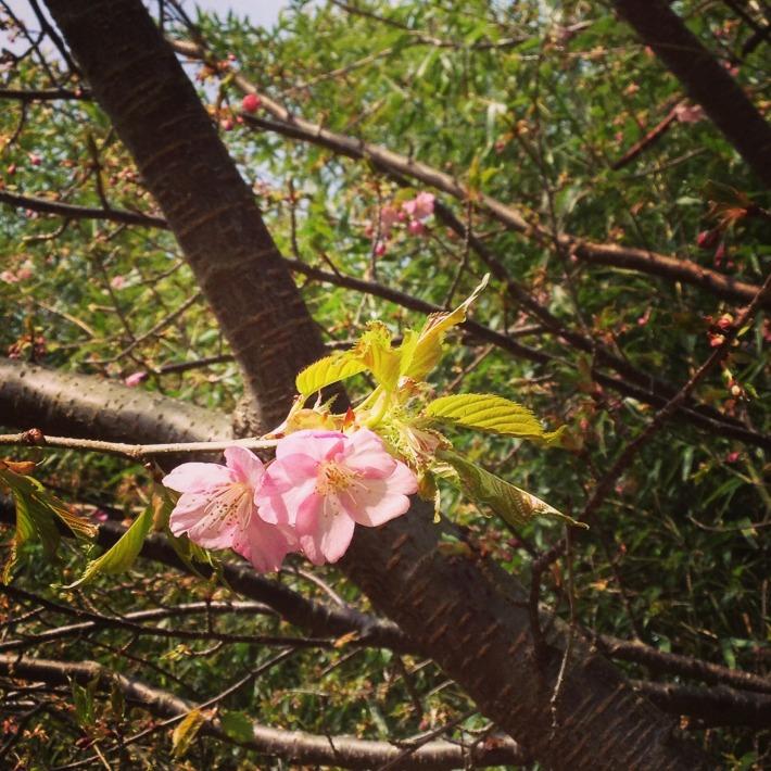 わが家の河津桜