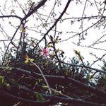 2016年1月末頃 わがやの桜