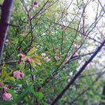 2016年2月初旬 わが家の桜