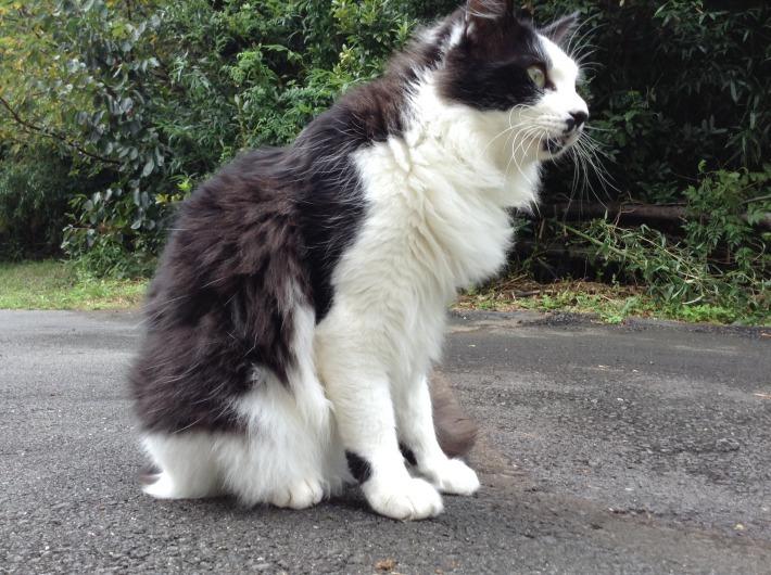 猫スタッフ コルテス