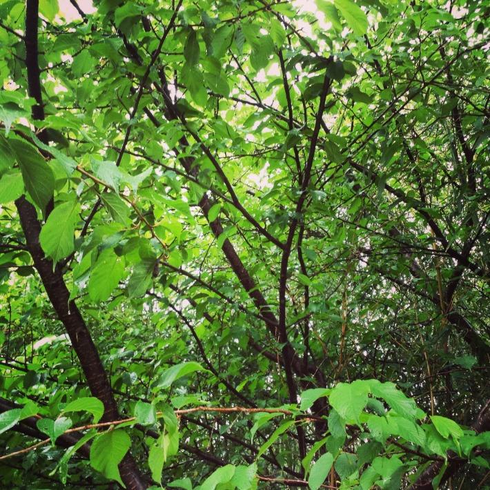 河津桜の葉桜